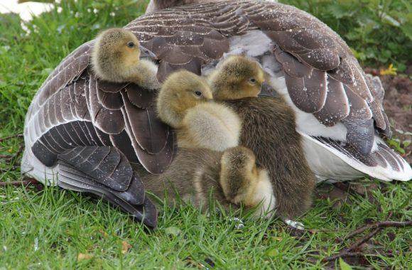 mother-and-chicks-1024x626